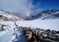 Migration of the sheep in Val Senales 12.+13.09.2015